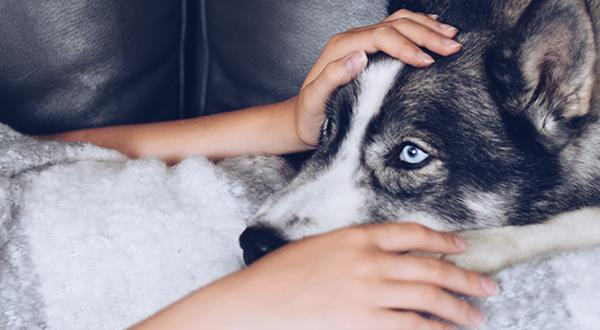 Girl under a blanket with a husky dog