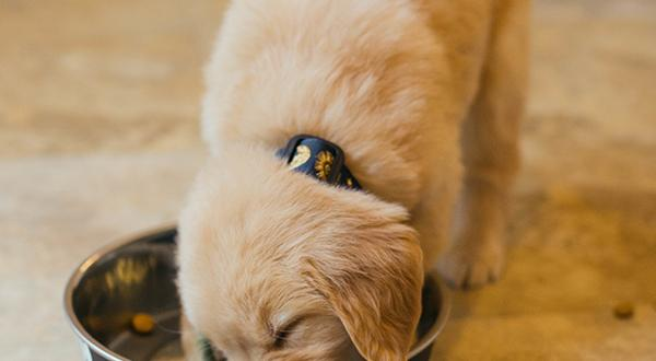Golden retriever puppy eating food from dish
