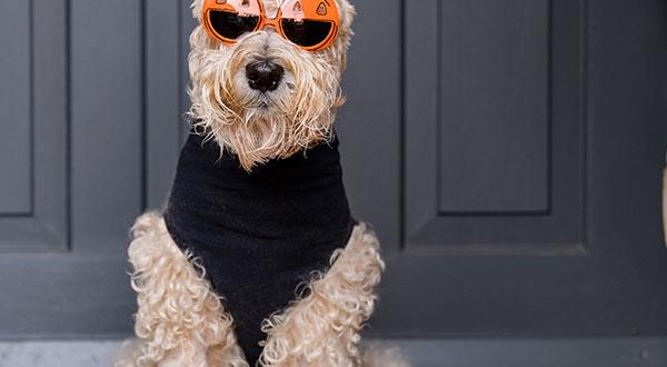Dog posing in a halloween costume