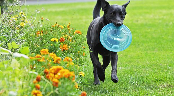 Labrador Retriever retrieving a blue frisbee from the yard