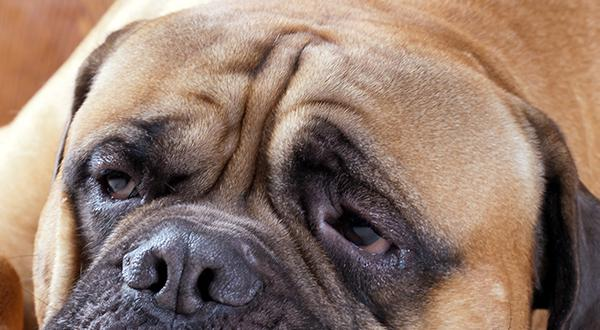 Obese dog laying down