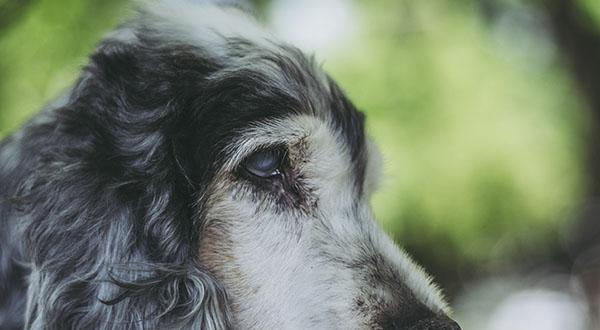 Dog with a cloudy eye