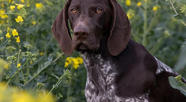 Pointer dog in a field of wild flowers