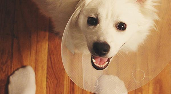 Dog with cone collar on after neuter surgery