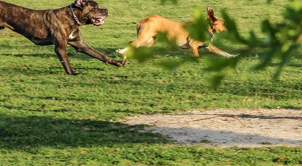 Two dogs running around in a dog park
