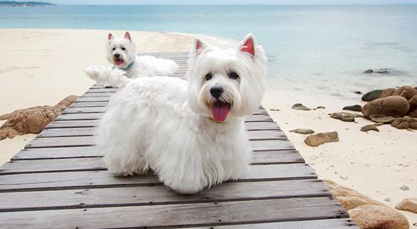 two white Westies spending time on the beach