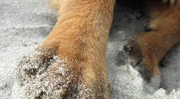 Travel paw care for dogs: Dog with paws in the sand