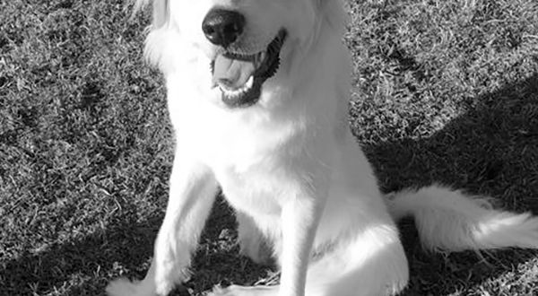 Link, rescued by the Great Pyrenees Rescue of Oklahoma