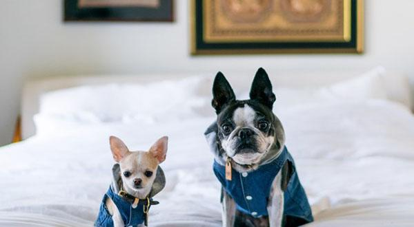 Two dogs in jackets sitting on bed