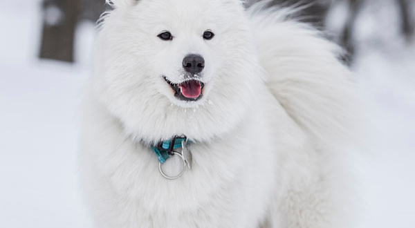 samoyed dog standing in the snow