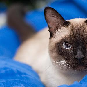 Siamese cat laying on a blue bed