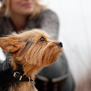 Getting To Know The Yorkshire Terrier | Figo Pet Insurance